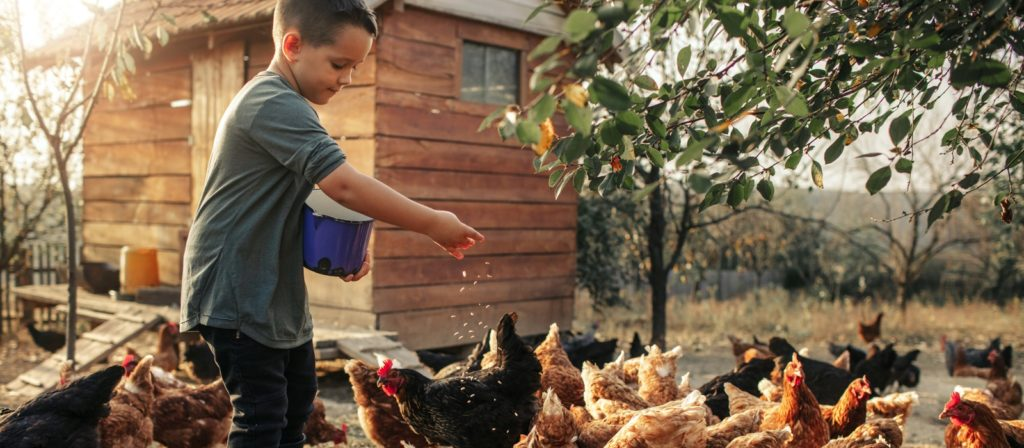 A young boy feeding chickens.